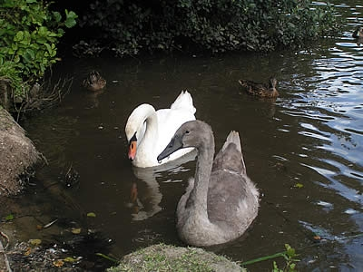 Photo Gallery Image - Swans at the Nature Reserve